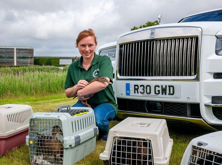 Szczęśliwe uratowane kaczki pojechały Rolls-Roycem do swojego nowego domu