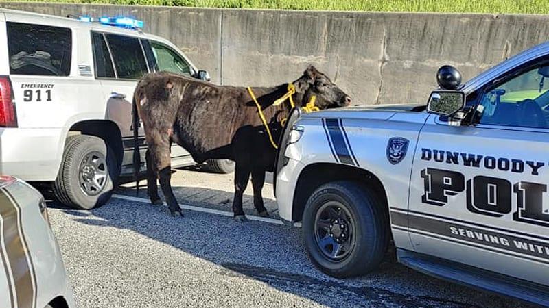 Krowa zablokowała ruch na drodze