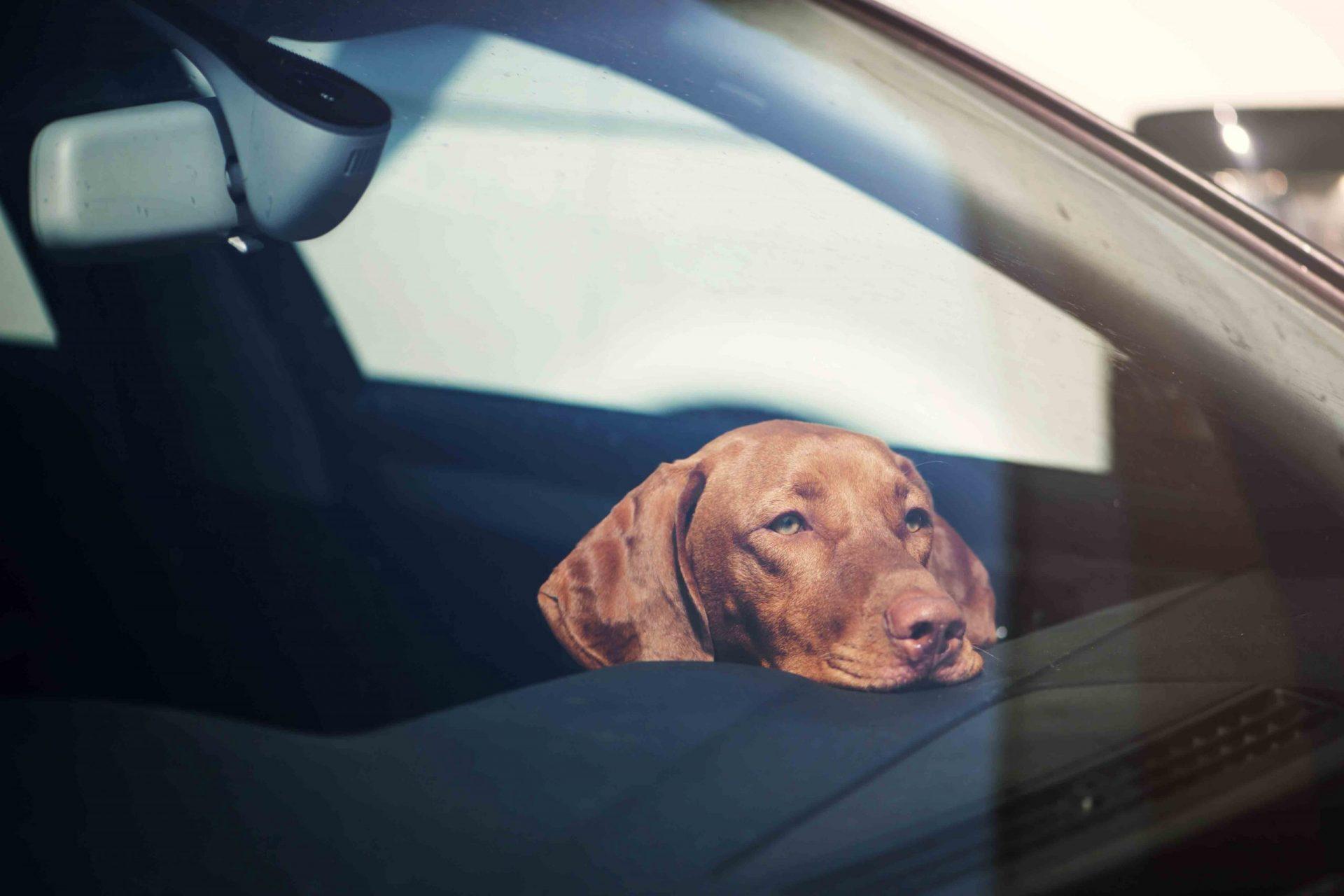Pies w rozgrzanym samochodzie